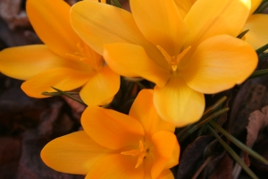Multiple Crocus