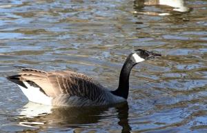 Canada goose 4