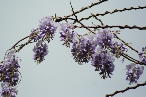 Grapevine Wysteria