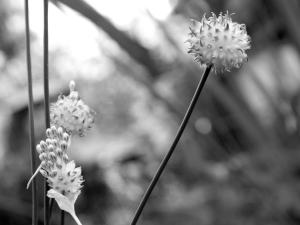 Garlic Blossoms